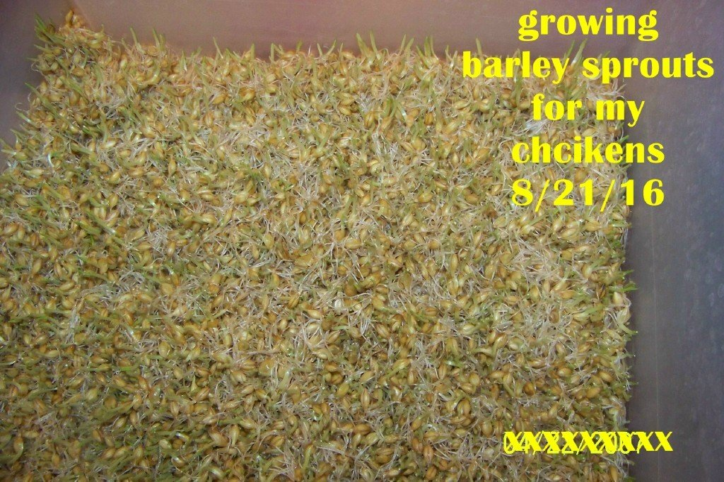 growing  barley.jpg