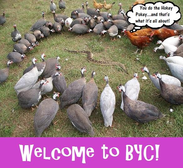 guinea fowl hokey pokey welcome.jpg