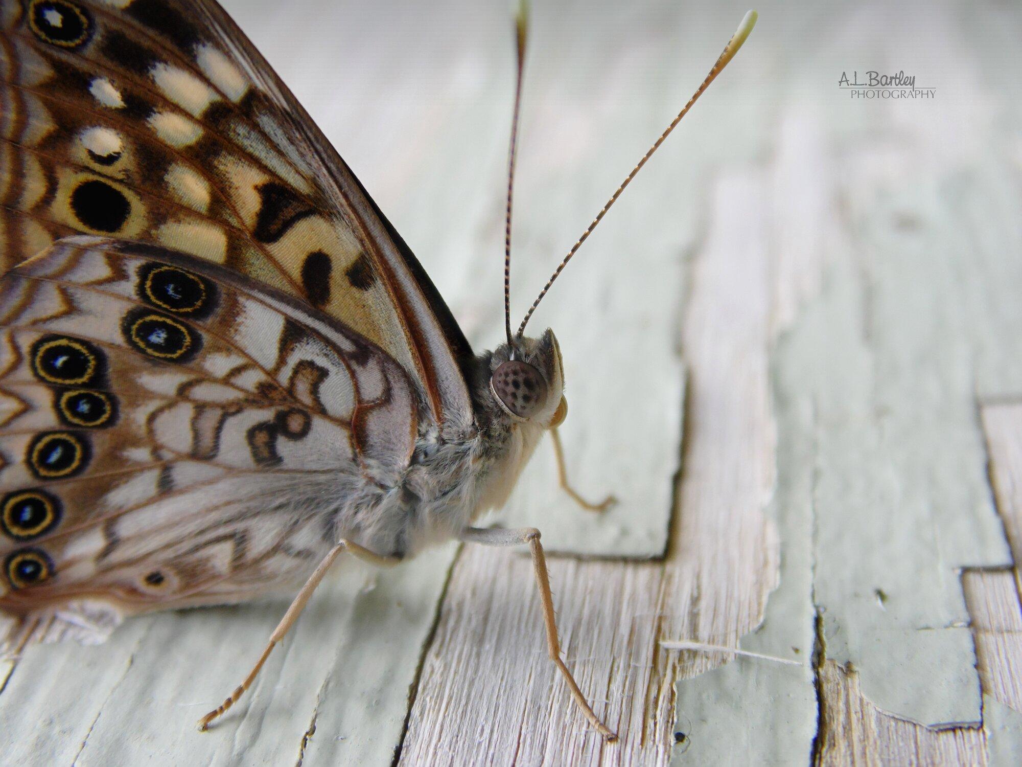 Hackberry Emperor Butterfly.jpg