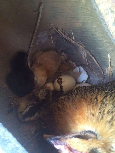 hatching chicks 6.6.17.jpg
