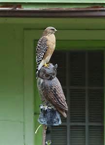 hawk sitting on an owl.jpg