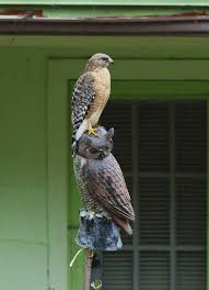 hawk sitting on owl.jpeg