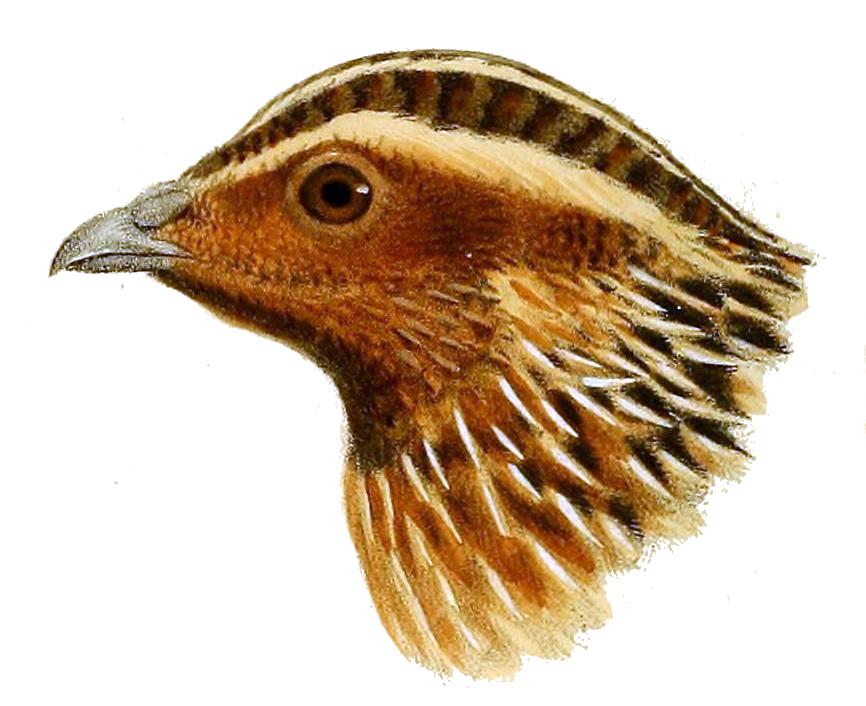 Head_of_Coturnix_capensis_-_Herbert_Goodchild.jpg