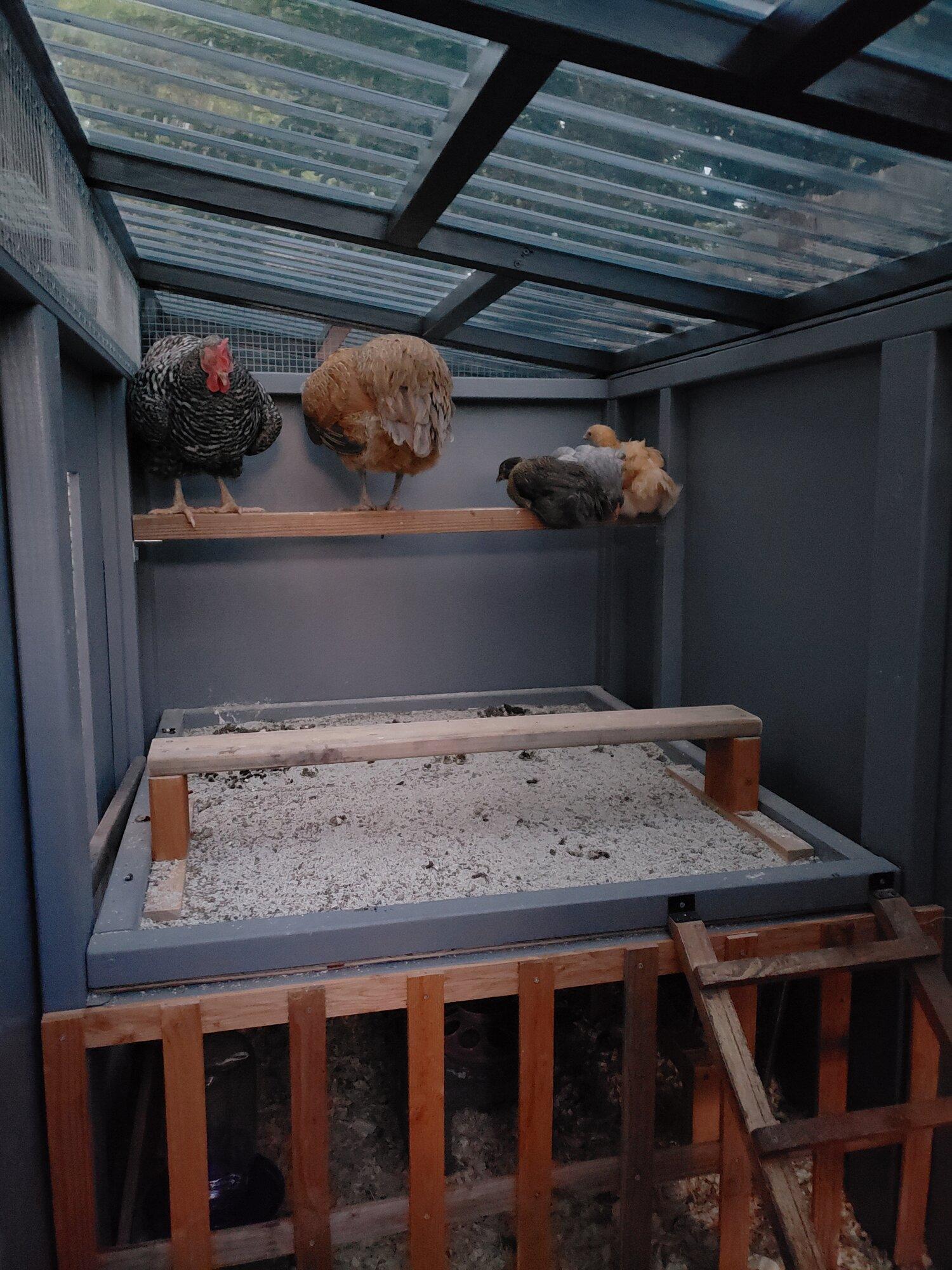 integrating-chicks.jpg