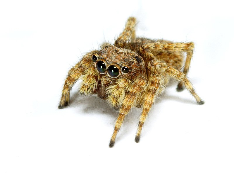 Jumping_spider_PC180733_12-18-2006-001a.jpg