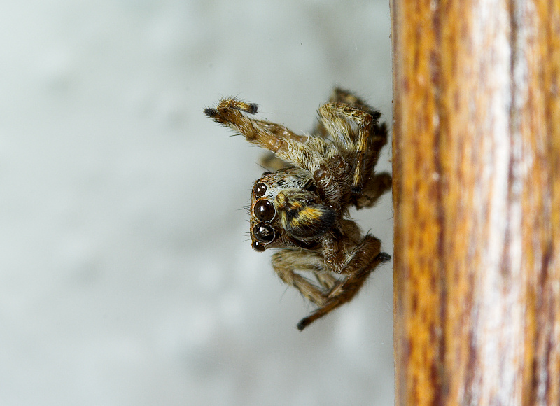 Jumping_spider_PC180738_12-18-2006-001.jpg