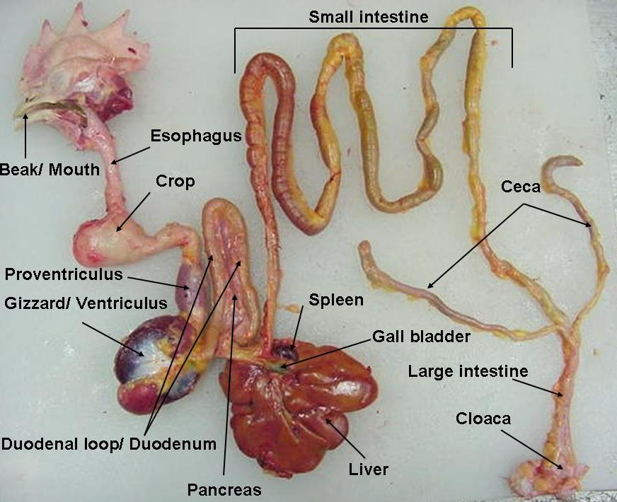 labeled_digestive_tract1.png