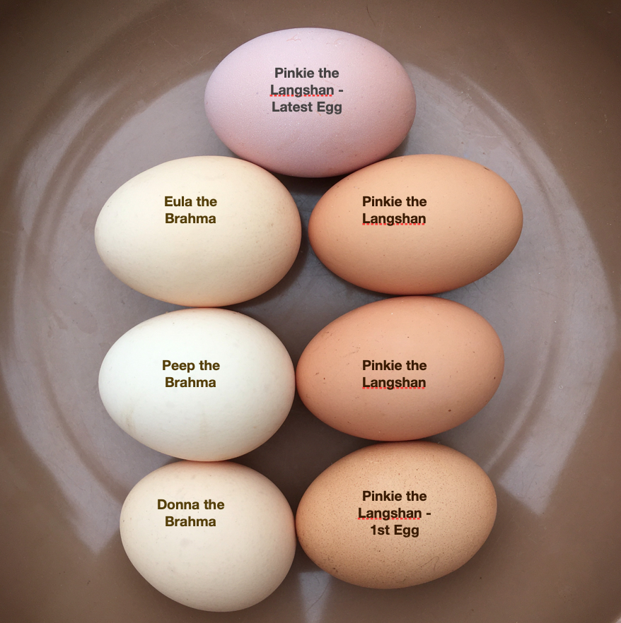 Langshan-and-BrahmaEggs-labeled.png