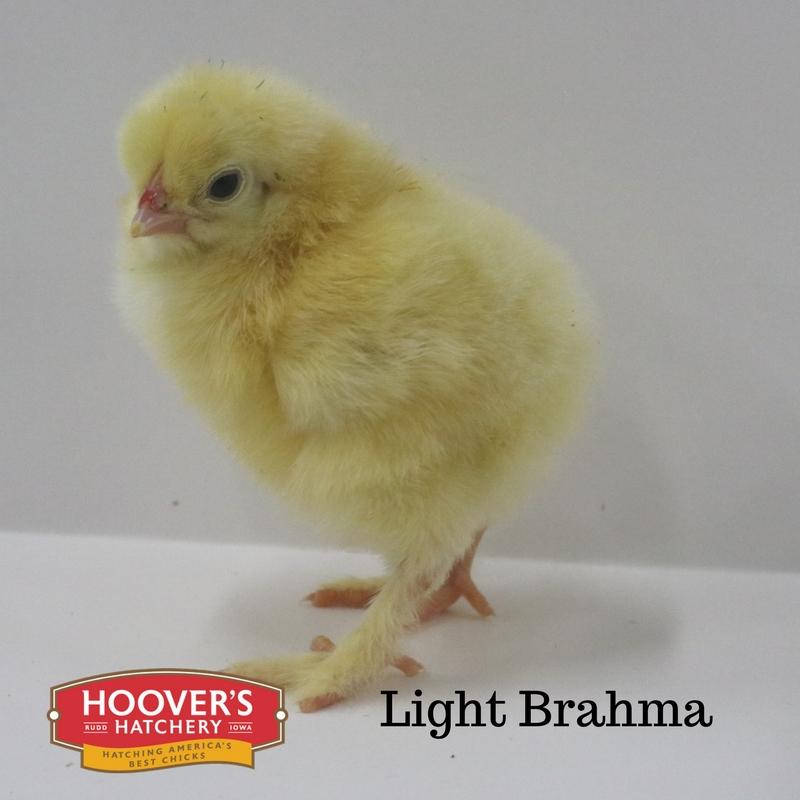 Light Brahma.jpg