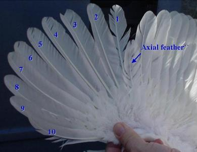Location_of_axial_feather_0.jpg