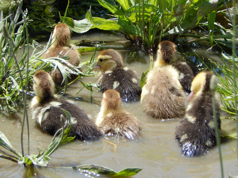 muscovy ducklings.JPG