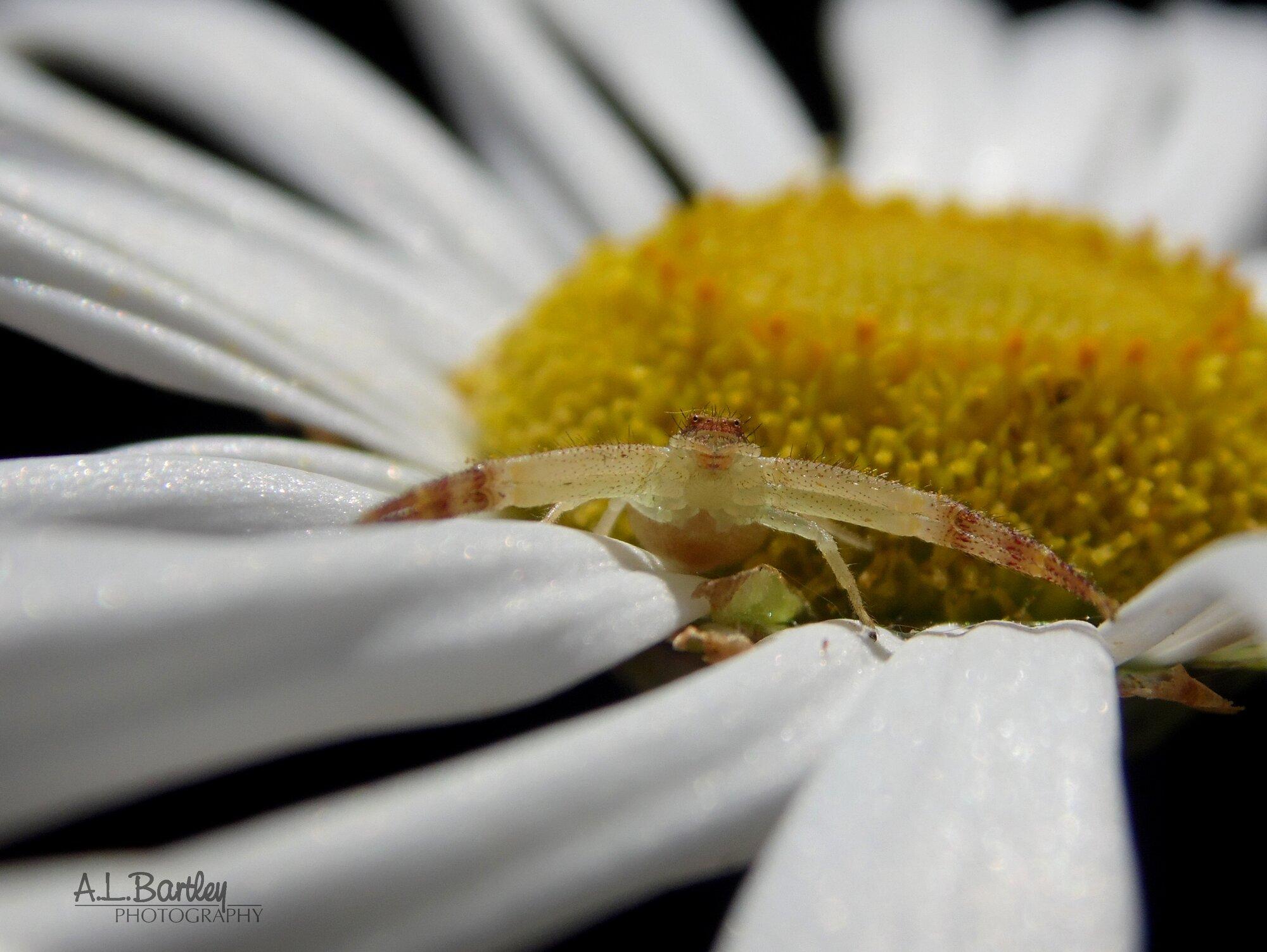 Northern Crab Spider - Female 02.jpg