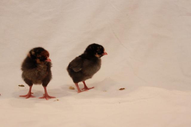 Paceysgl5s Chicken Coop.jpg