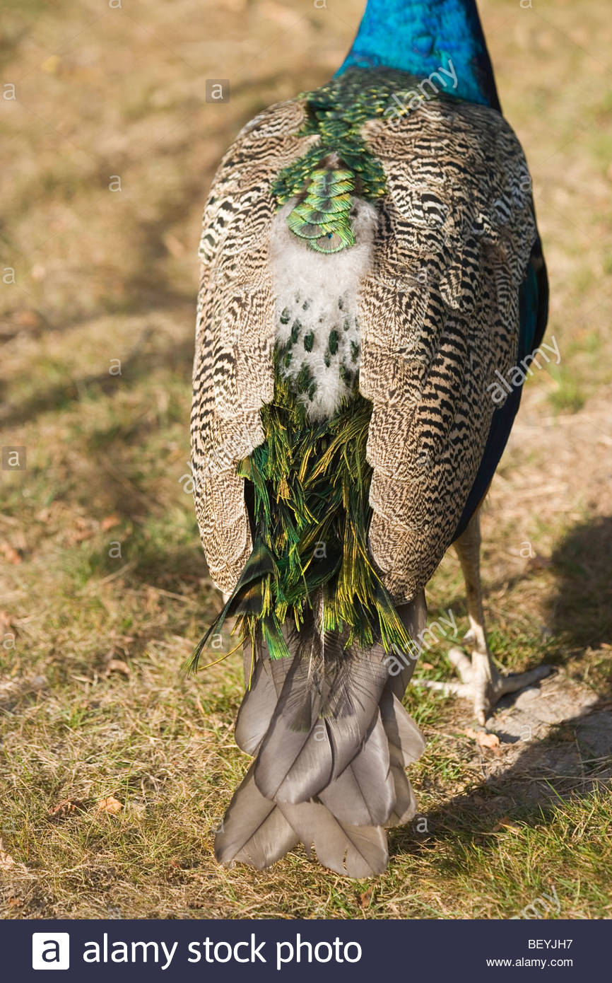 peacock molt_1.jpg