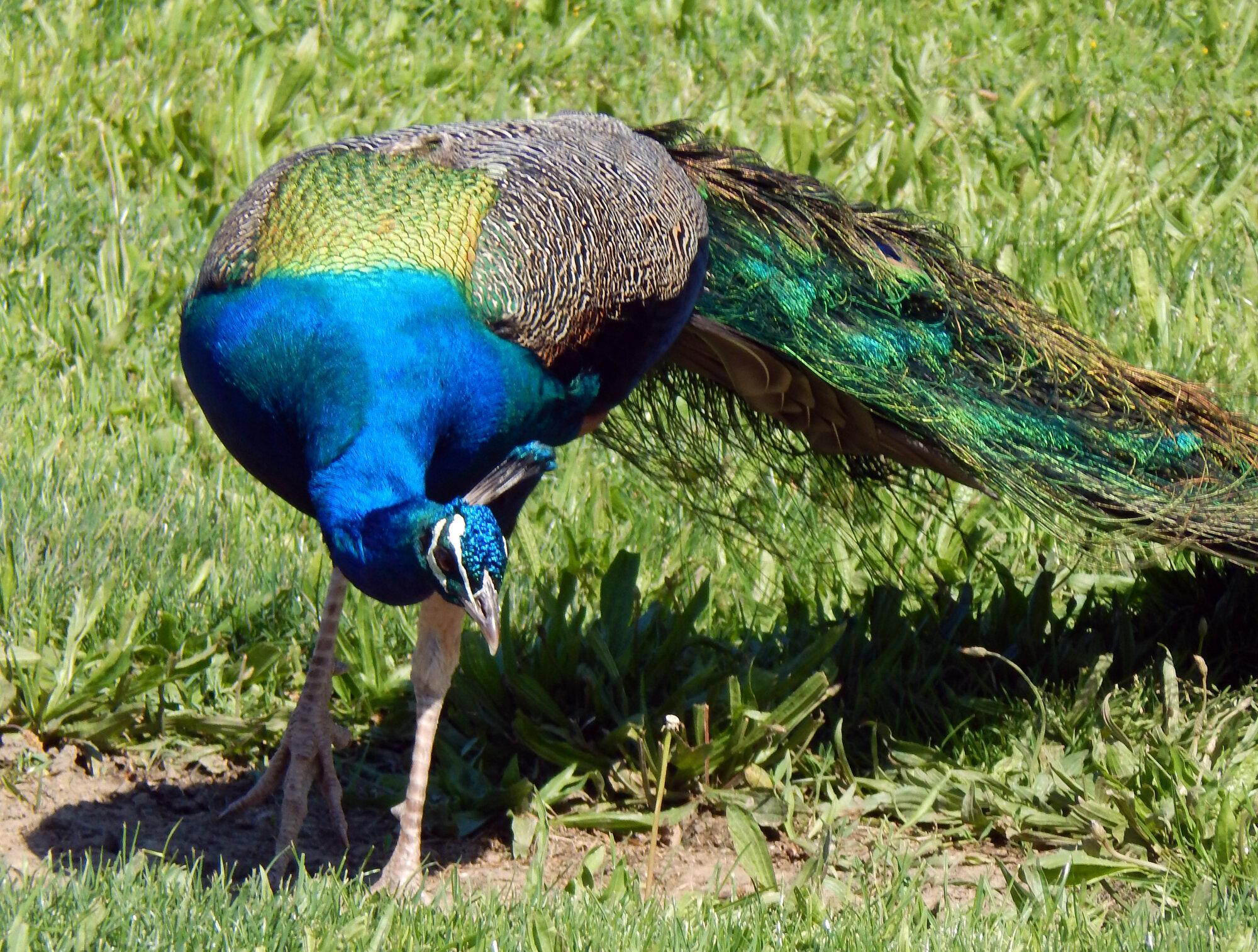 peacock_1.jpg