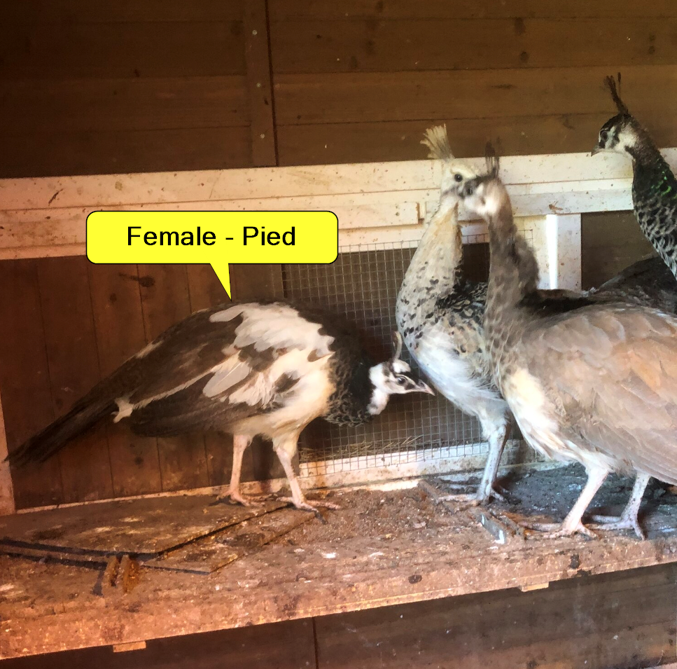 peafowl sex_2.png