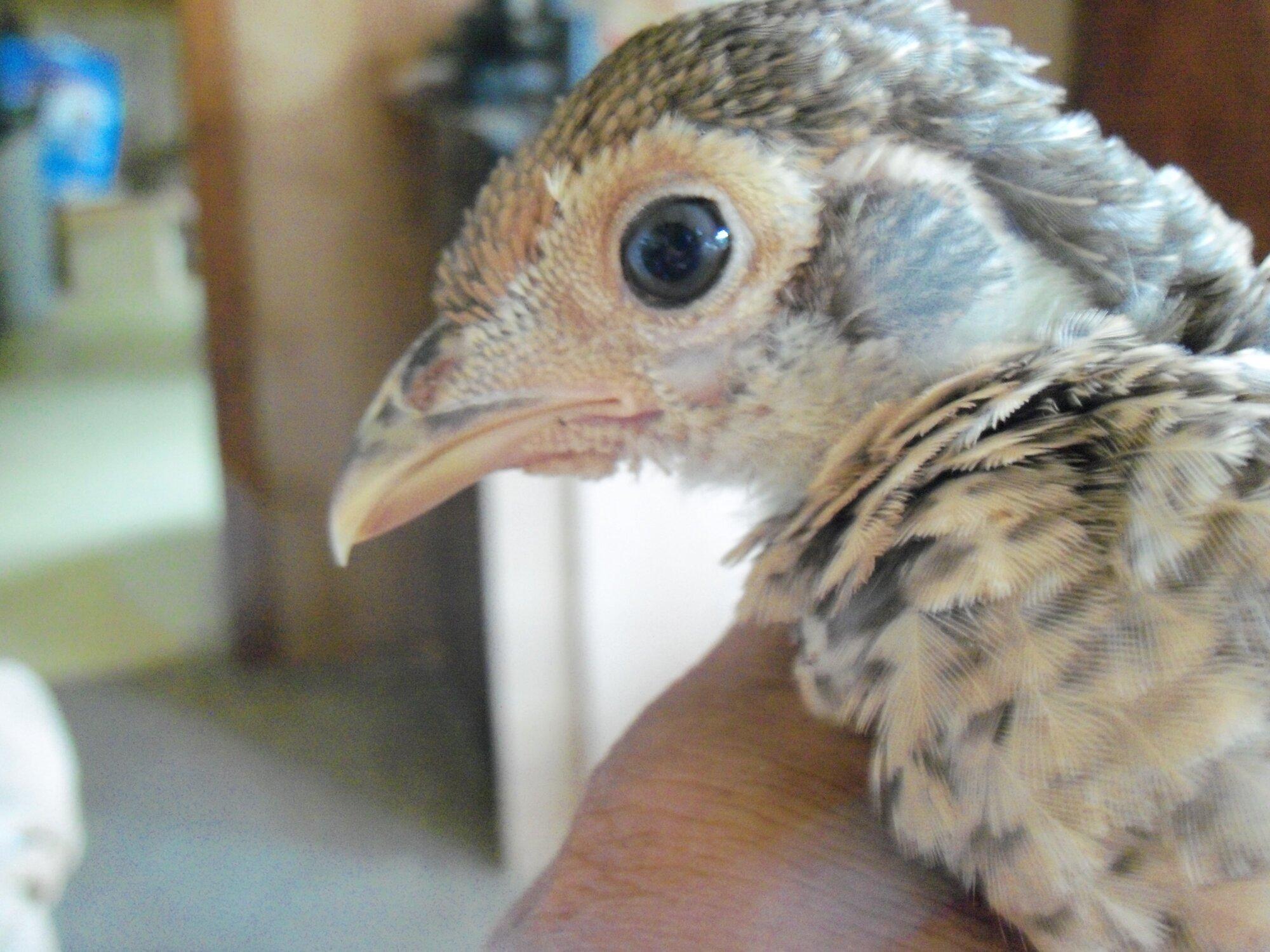 pheasants 026.jpg