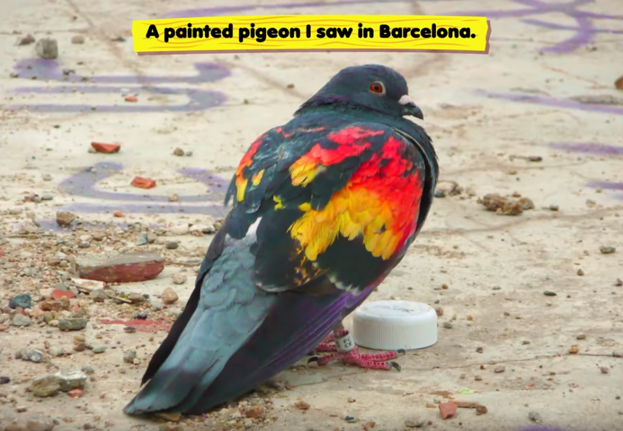 pigeon from barcelona.PNG