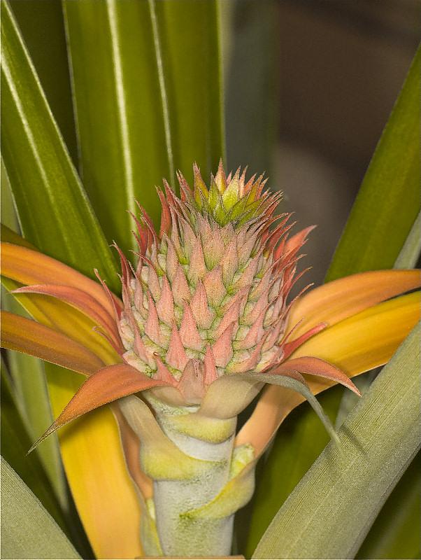 Pineapple_blossom_Y2102081_2-10-2011-001.jpg