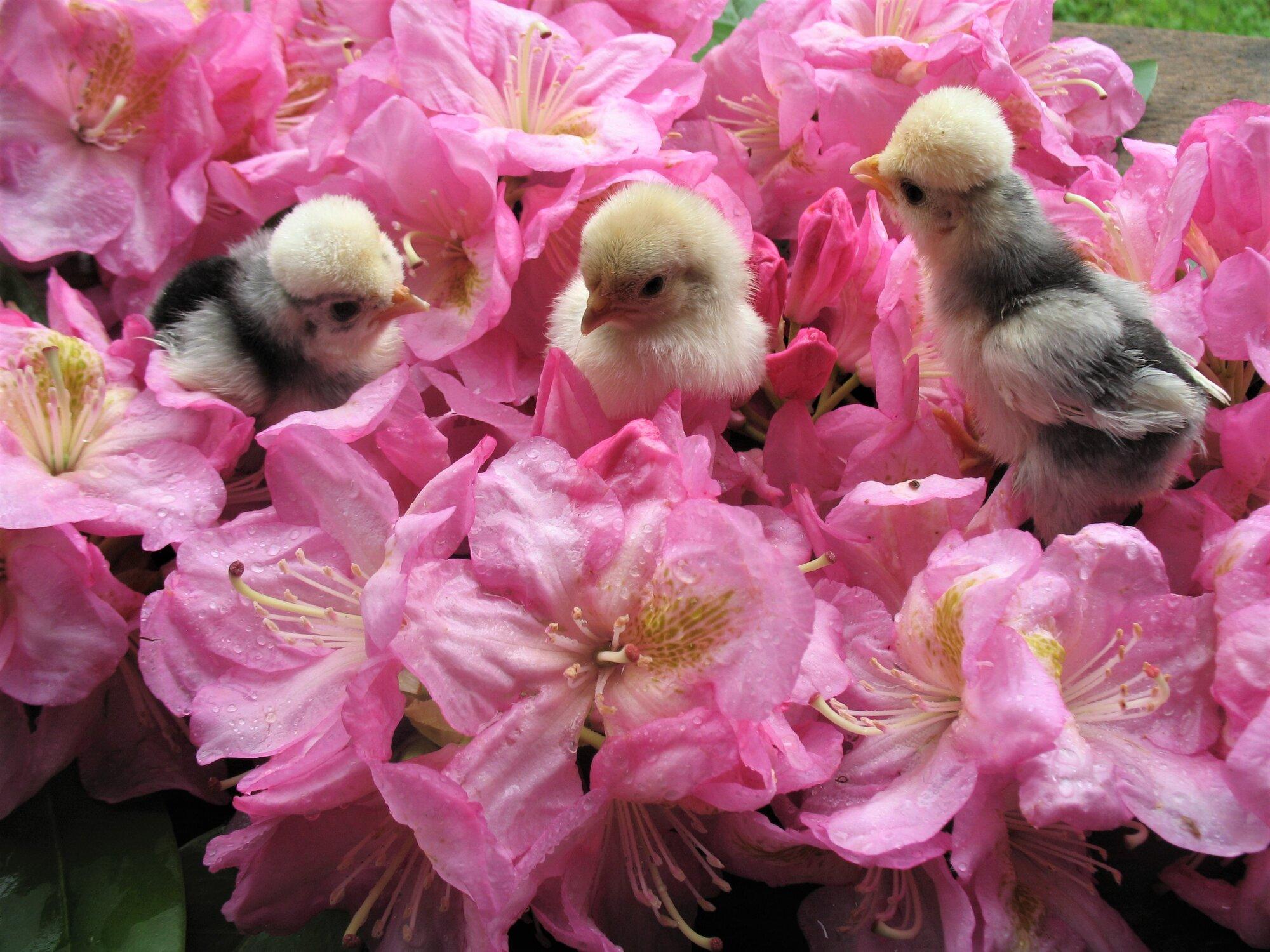 Polish Chicks.jpg