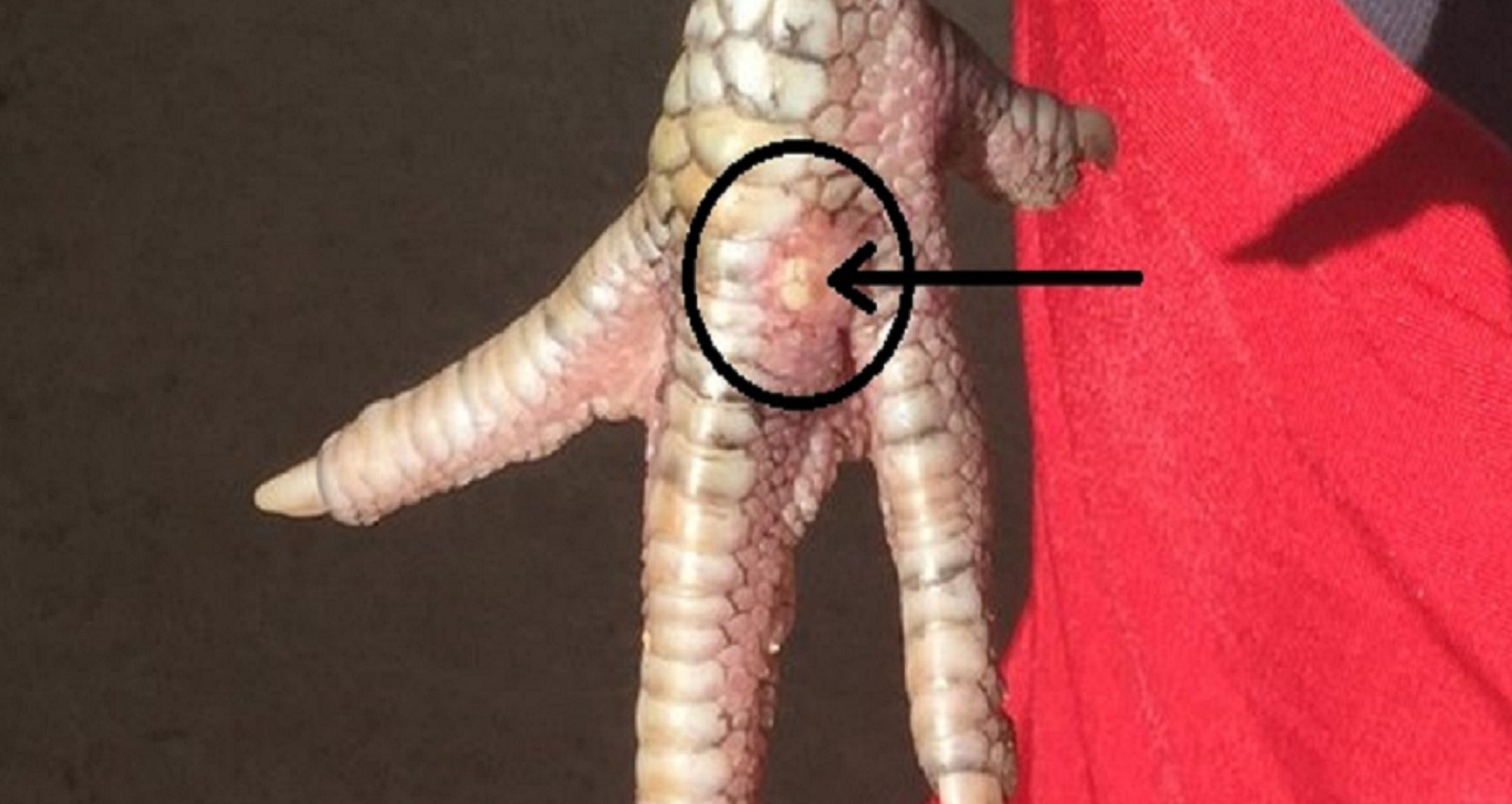Possible gout -whats wrong with my hens feet-gout crystals close up.jpg