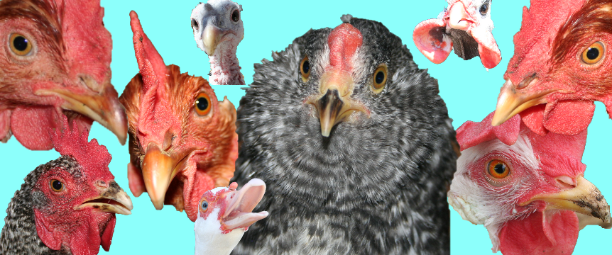 Poultry Matching Game Picture V2.png