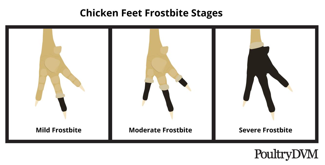 poultrydvm-feet-frostbite-stages.png