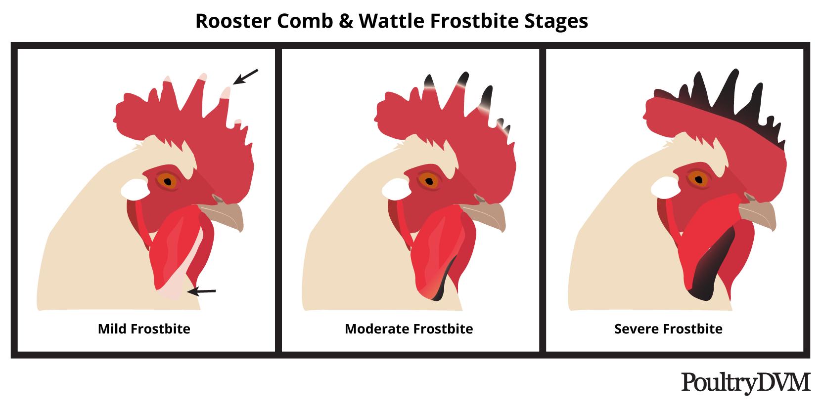 poultrydvm-rooster-comb-frostbite-stages.png