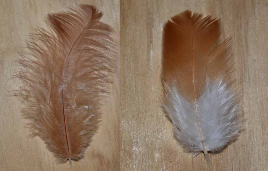 Production Red and Red Sexlink feathers.jpg