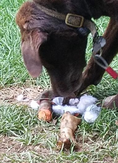 pup shred chicken.jpg