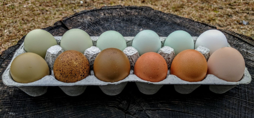 Purina_Colored Eggs for BYC.jpg