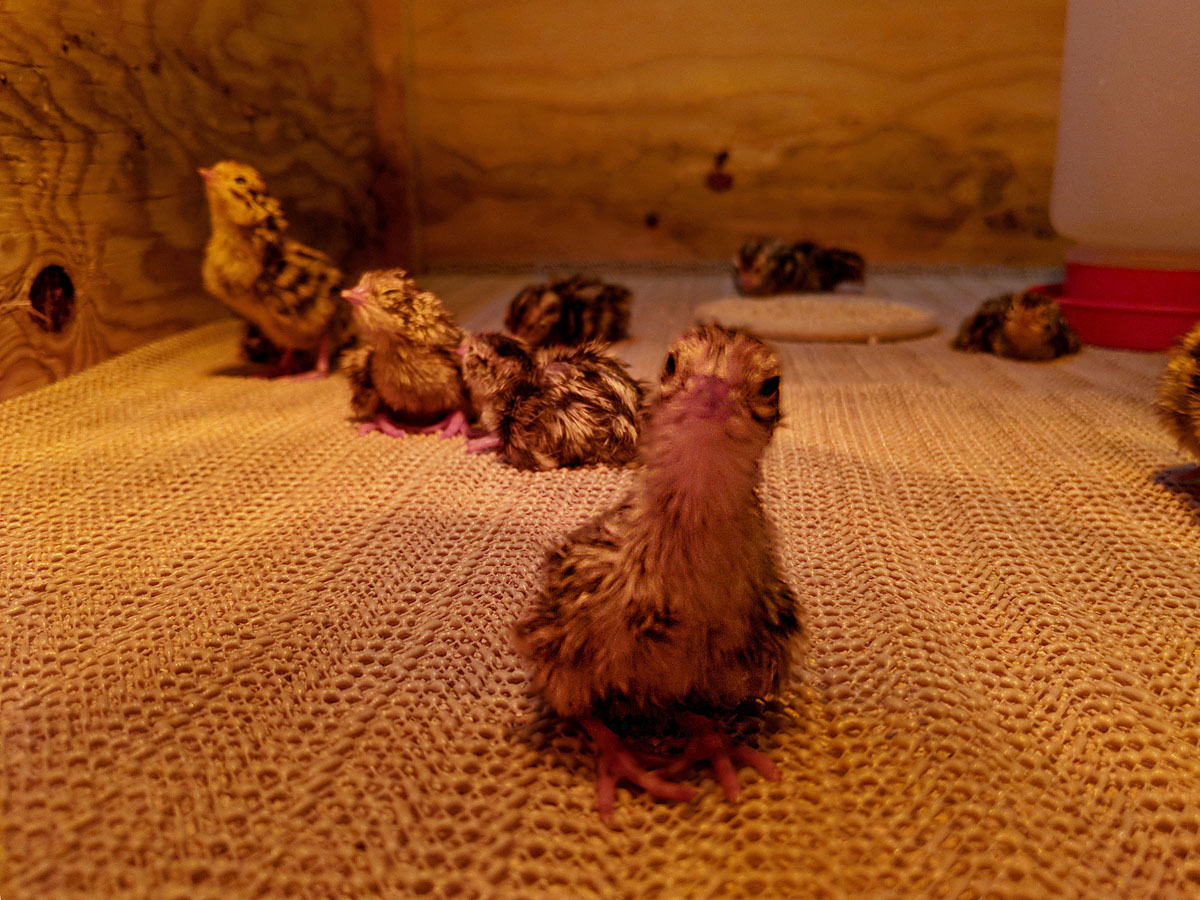 quail chick.jpg