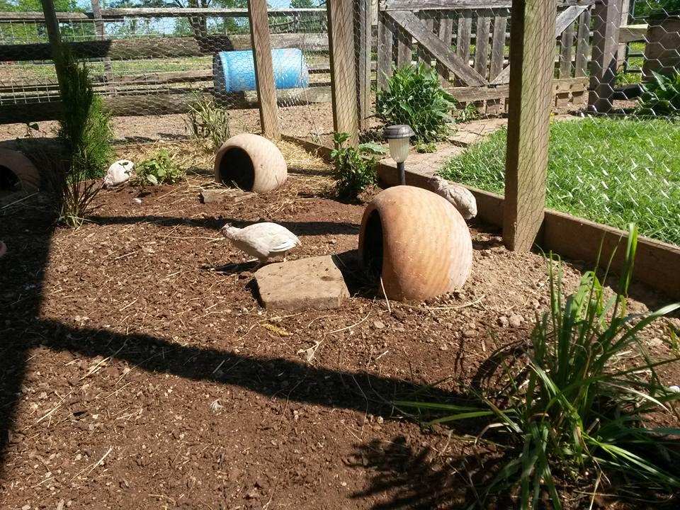 quailrun2.jpg