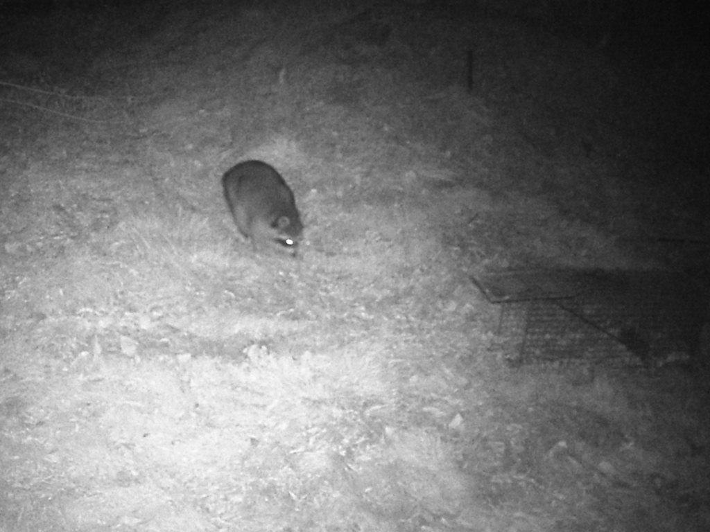 Raccoon_11-01-2020_DSCF0001-001.JPG