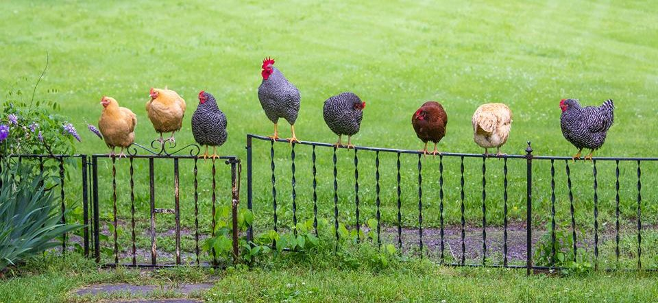 raising-chickens.jpg