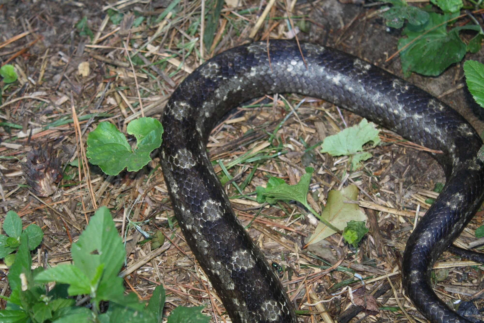 Rat Snakes 001.JPG