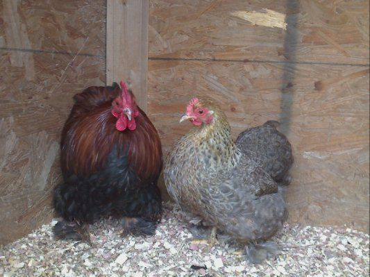 rooster and hen.jpg