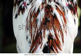 rooster feather.jpg