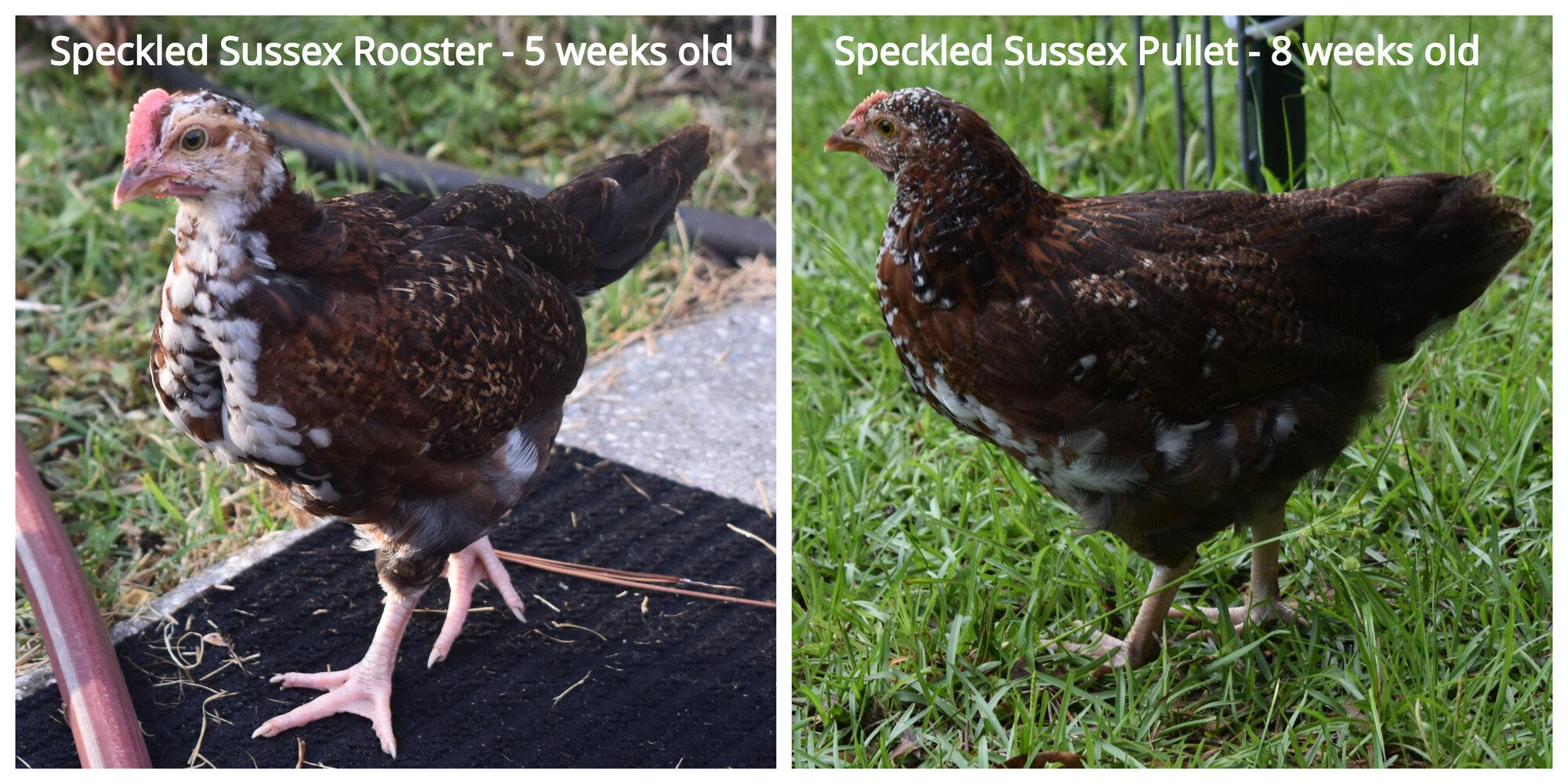 Speckled Sussex Roo vs Pullet.jpg