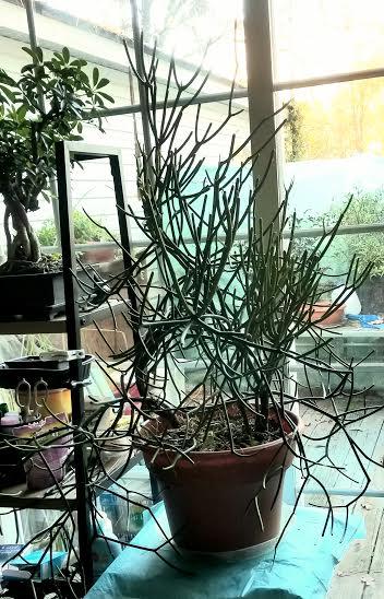 Stickbush.jpg