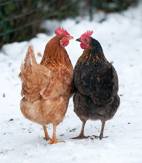two-hens-beak-to-beak-outside-winter.jpg