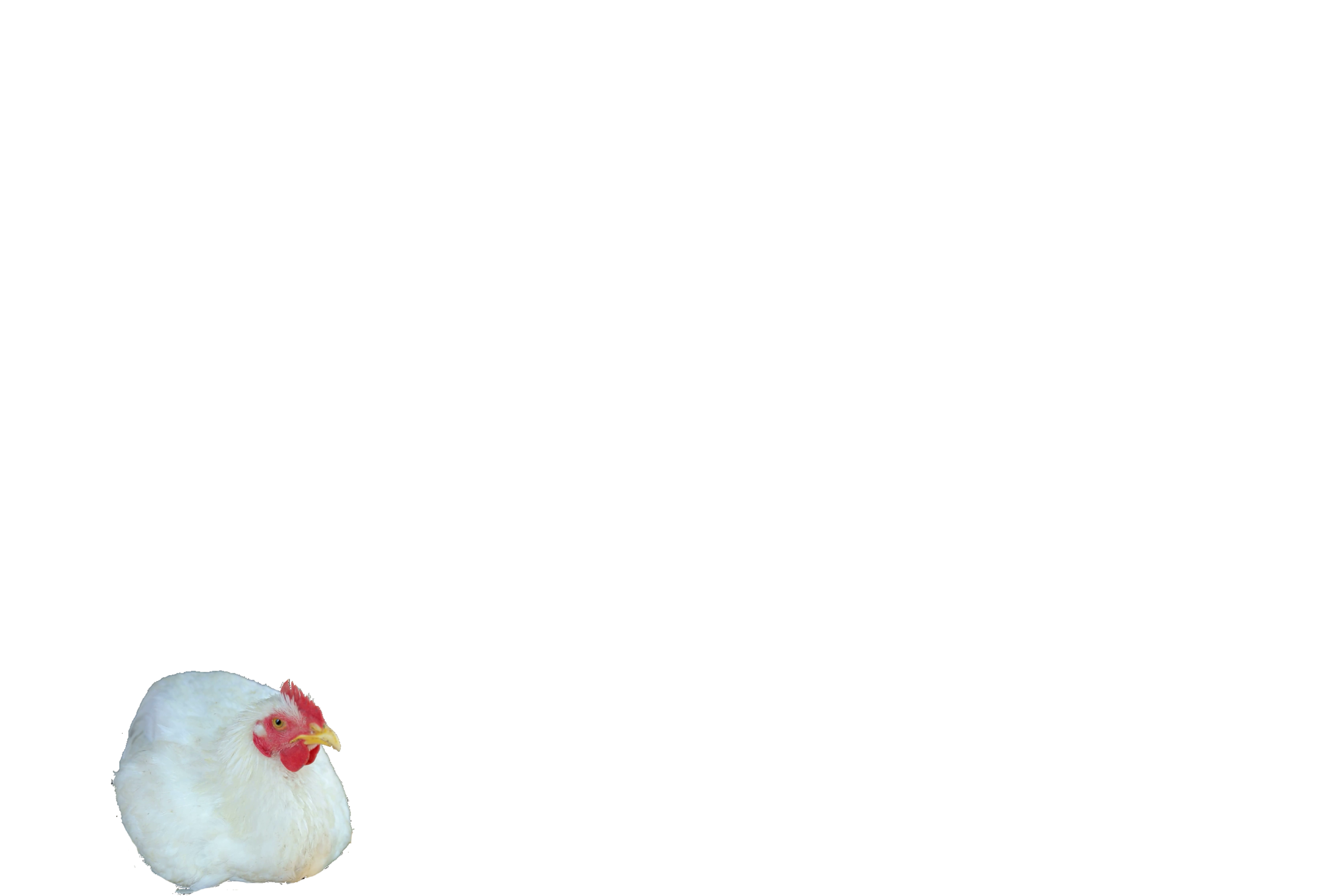 videoblocks-white-chicken-chicken-sitting_b_6yij6l2e_thumbnail-full01.png