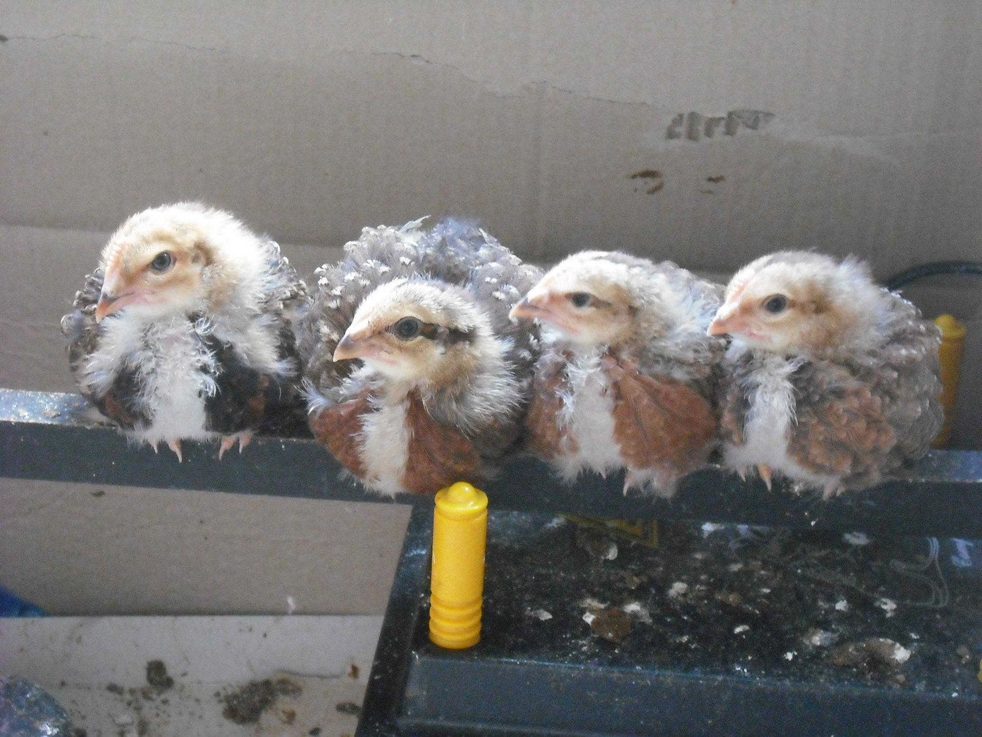Welsummer chicks just 3 weeks old 27-10-18 D.JPG