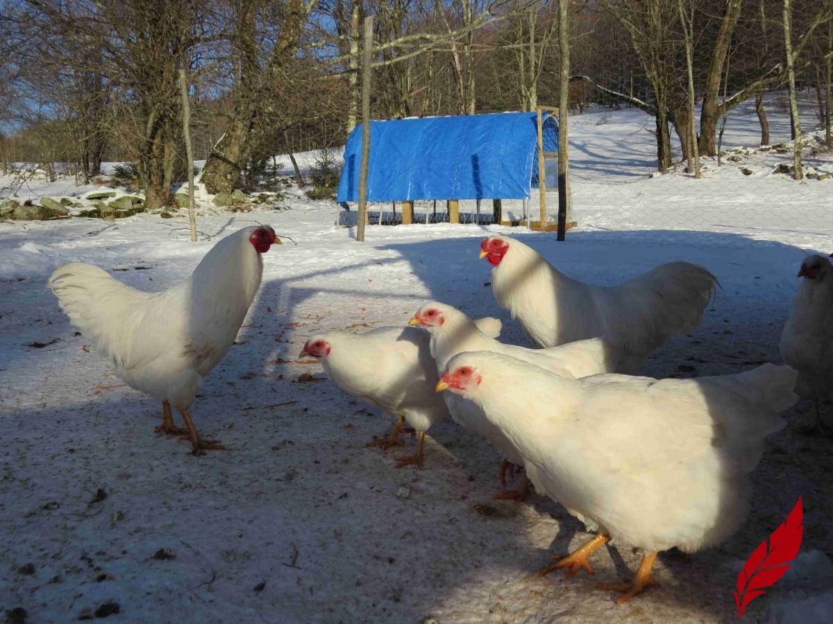 white-chantecler-chicks-sale.jpg
