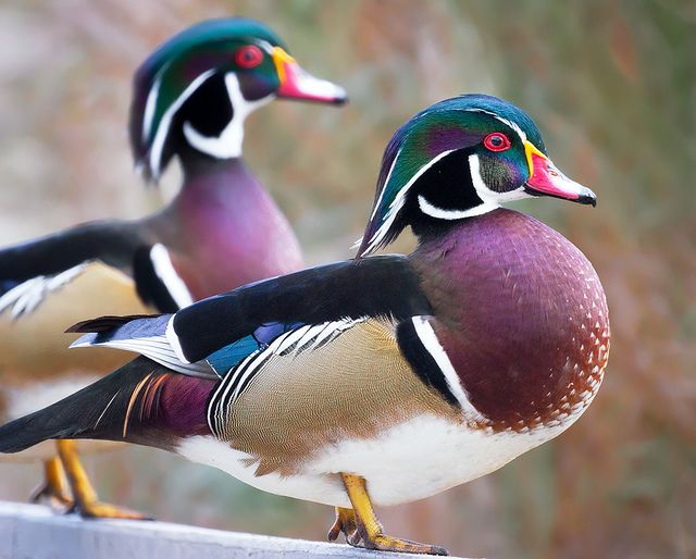Wood Duck2.jpg