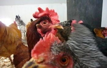 Backyard Chicken Blog chicken blog ellas chicken flock | backyard chickens