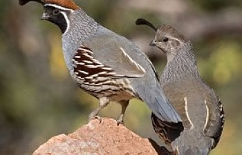 Quail Diseases, Health Issues and Keeping Your Quail Healthy
