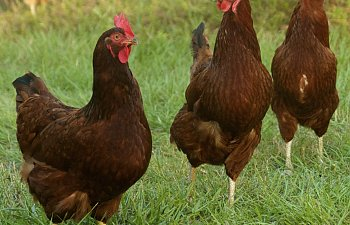 The Rhode Island Red Chicken Breed  | BackYard Chickens