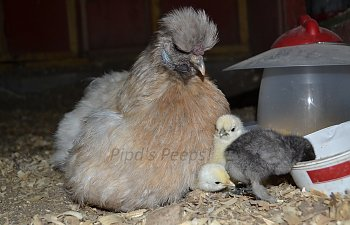 Kick The Heat Lamp Better Safer And Healthier Options To Heat Your Brooder Backyard Chickens