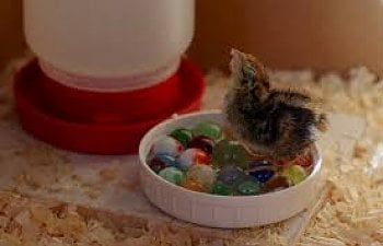 How To Raise Baby Chicks The First 60 Days Of Raising Baby Chickens Backyard Chickens